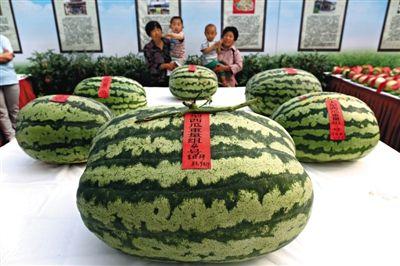 """昨日,第27届大兴西瓜节西甜瓜擂台赛上,重达83.94公斤的""""瓜王""""亮相,重量超过去年""""瓜王""""近一倍。"""