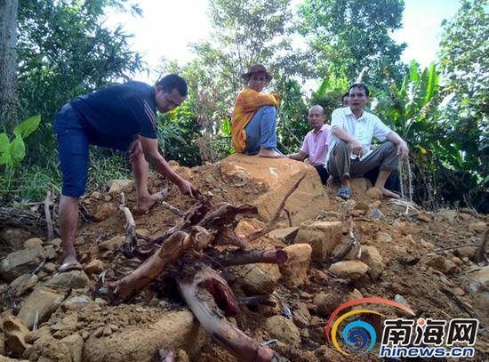 古树被砍倒,挖出来后只留下树根。南国都市报记者刘孙谋摄