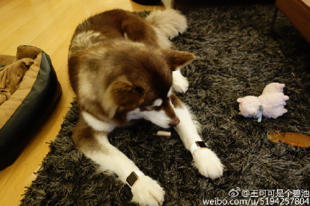 王思聪炫富为爱犬配苹果表