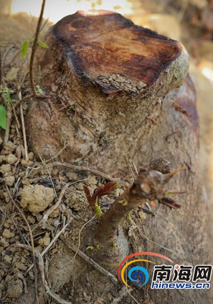 重阳树被砍伐后的树桩里,冒出了新芽。