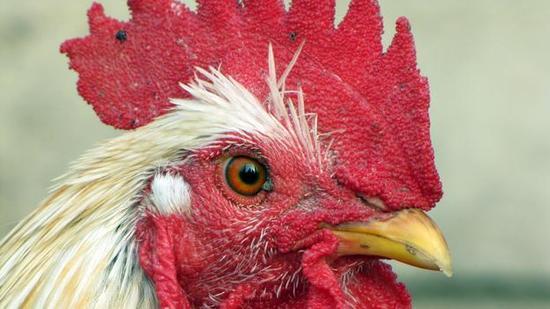 鸡是恐龙的远亲。