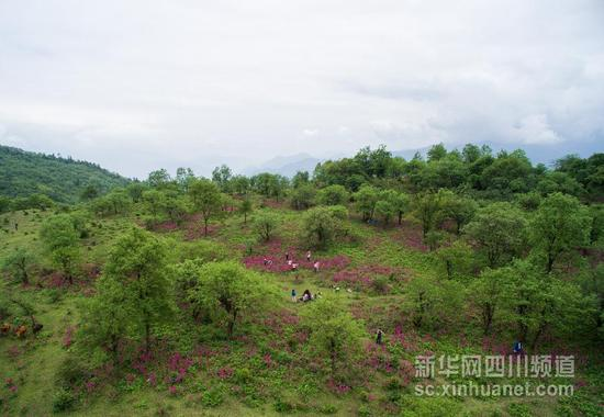 汉源发现大规模报春花原生群落