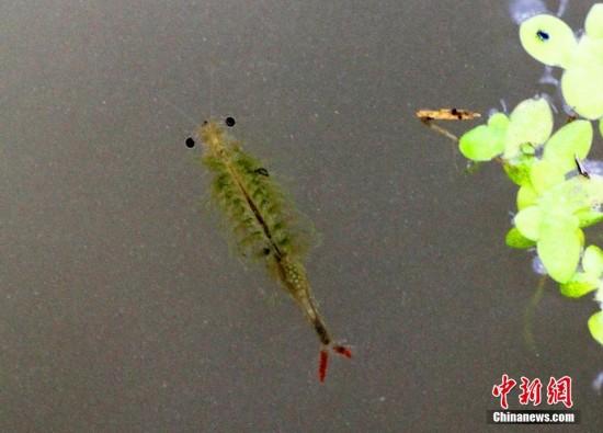 水田里游动的仙女虾