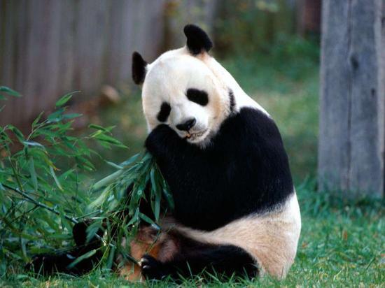 我们对大熊猫的五个误解:不温顺很好斗