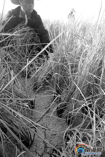 乌烈村上百亩水稻田龟裂绝产。南国都市报记者刘守波摄