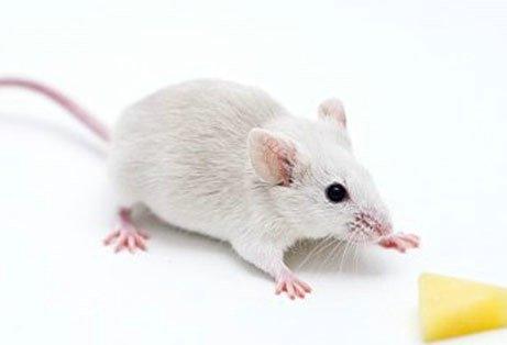 科学家用光照恢复失忆小鼠记忆