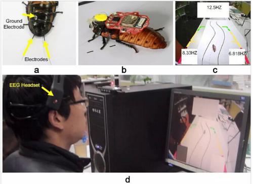 这项研究实现了人脑实时控制活体蟑螂走S形轨迹和Z形轨迹等任务。