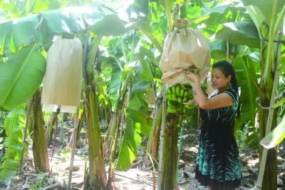 张霞种植的香蕉获得丰收
