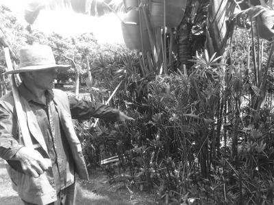 植物被黄牛啃食