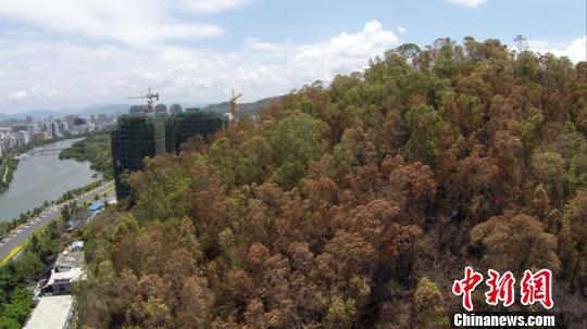 受持续干旱影响,三亚部分山上的树叶已经枯黄。