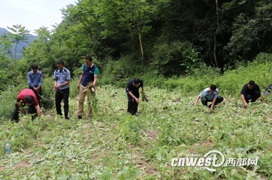 凤县警方成功破获一起非法种植罂粟案,查获非法种植罂粟1500多株。