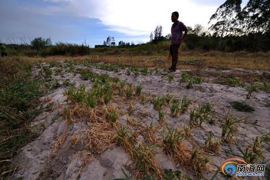 昌江海尾镇长田村村民种植的韭菜、地瓜叶,由于干旱开始枯萎。