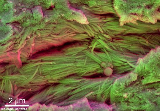 这并非研究人员第一次发现恐龙的血液细胞