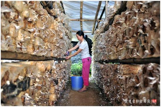 宜州产业优势——食用菌