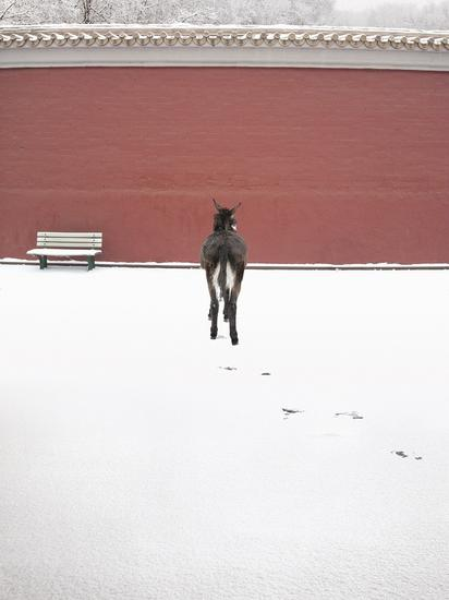 《小驴面壁》 作者:左小祖咒 规格:180X120CM 材质:彩色图片 时间:2008 作品说明:在雪天,牵一头驴在天安门东边的长安街面壁红墙留影。