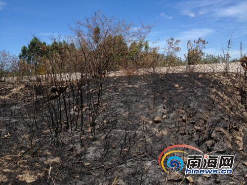 紧挨着防护网线的芒草丛被人为纵火烧毁。