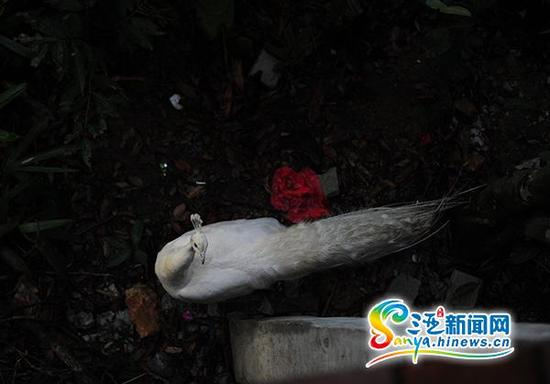 6月21日,在三亚凤凰岭公园的觅食的孔雀。(三亚新闻网记者 沙晓峰 摄)