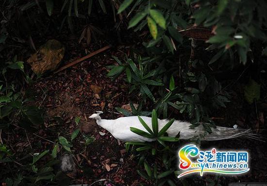 6月21日,在三亚凤凰岭公园的觅食的孔雀。(三亚新闻网记者沙晓峰摄)