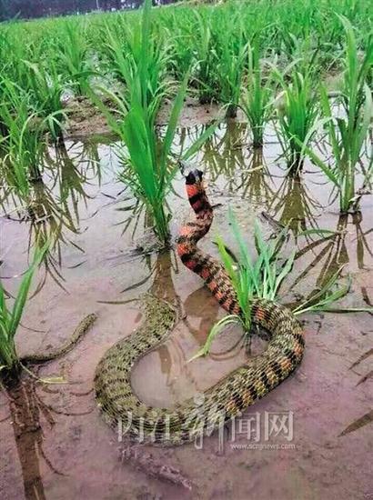 出现在稻田里的怪蛇