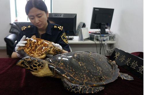 资料图:上海海关查获玳瑁标本2件 费璐琳/摄