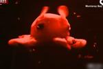 科学家捕获最可爱章鱼 粉红色大眼睛萌萌哒