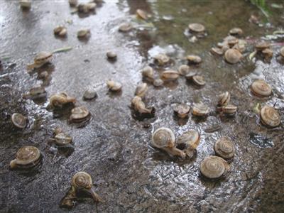 大量蜗牛大白天的就爬到路面上来了。梅建明 摄
