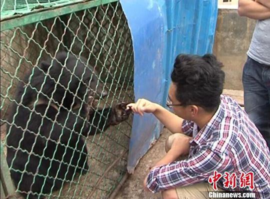 黑熊和工作人员勾指头。 白拓 摄