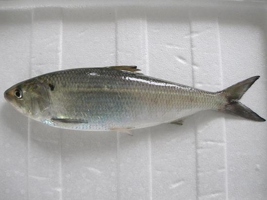 长江鲥鱼(图片来源于网络)