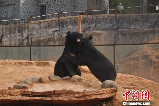 两只黑熊在云南省野生动物收容拯救中心嬉戏。 白拓 摄