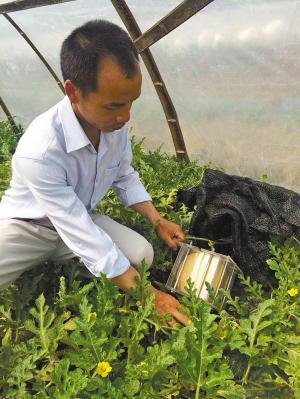农户正在进行方形西瓜培育