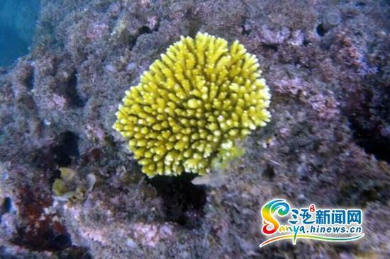 市民小娜在大东海国家级级珊瑚保护区用潜水相机拍摄到的美丽珊瑚。(市民小娜提供)