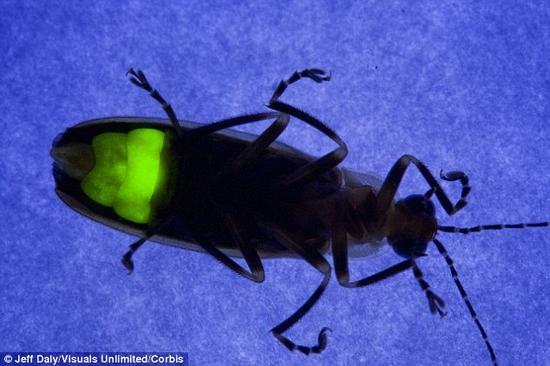 解开萤火虫发光之谜:涉及单个氧电子化学反应