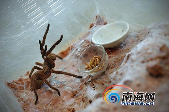 蜘蛛在进食黄粉虫