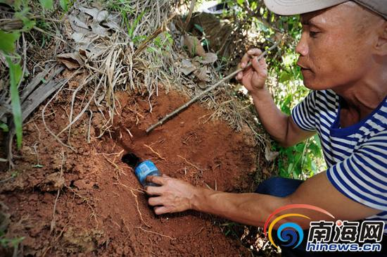 何开军在自家山上的橡胶林里挖取放养的海南虎纹捕鸟蛛。
