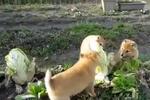 太残暴了!三只柴犬怒啃大白菜