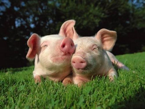 日本科学家拟开发新技术 猪身上或长出人内脏