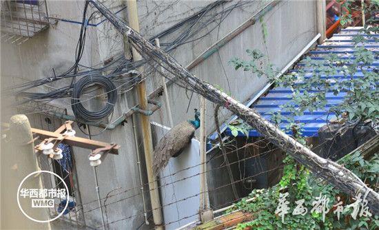 清晨起床推开窗 门口站只蓝孔雀