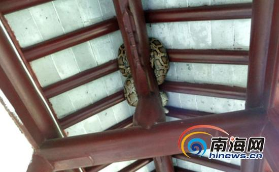 2米长大蟒蛇躲走海口一小区的廊顶梁上(通讯员林宇摄)
