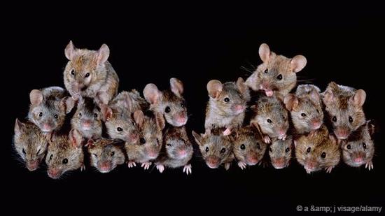 小家鼠的繁殖能力惊人