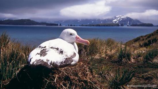 南乔治亚岛的海鸟几乎被老鼠赶尽杀绝