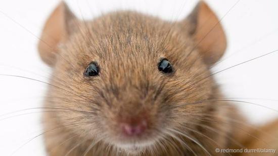 最初的雌鼠是岛上种群数量爆发的关键