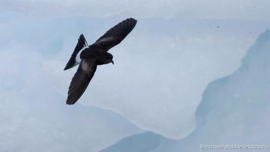 黄蹼洋海燕几乎在南乔治亚岛上消失了