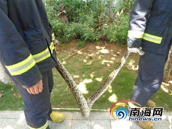"""消防官兵成功""""拿下""""2米长大蟒蛇(通讯员林宇摄)"""