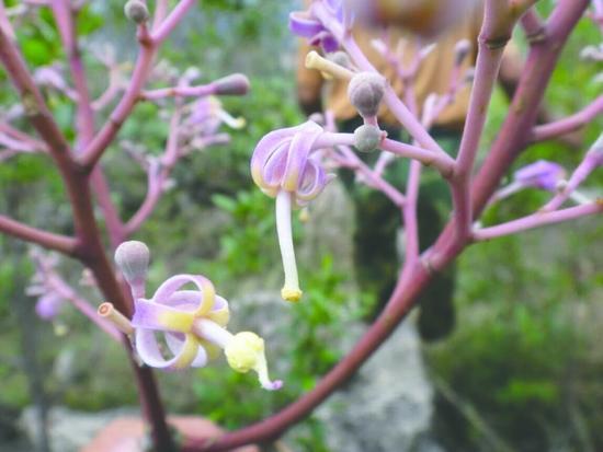 野生云南梧桐开出的花朵。