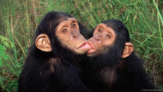 黑猩猩甚至互相亲吻