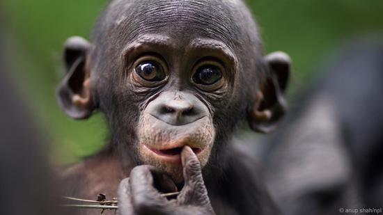 幼年倭黑猩猩看起来很像嬉闹的孩子