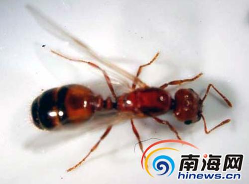 红火蚁(资料图)