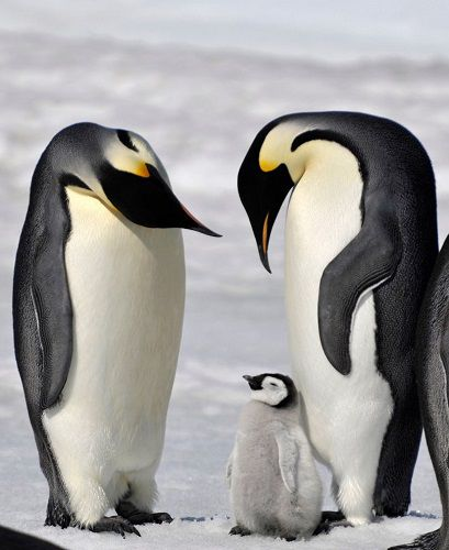资料图片:帝企鹅。