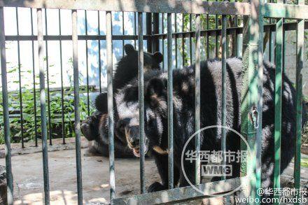 目前黑熊已移交至林业部门