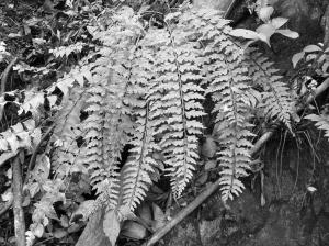 珍稀蕨类植物———华南铁角蕨 通讯员林海伦摄